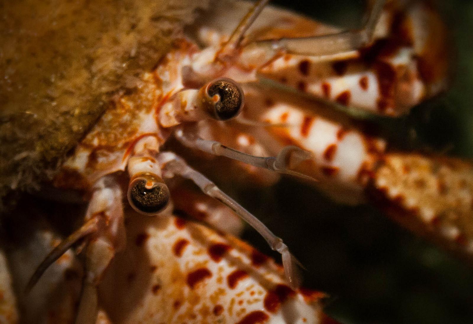 Hermit Crab AR